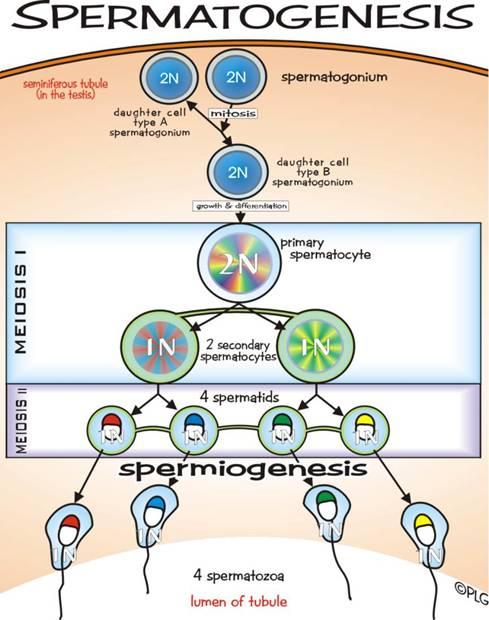 پروسه تولید اسپرم به زبان ساده + ( تصویر و انیمشن )