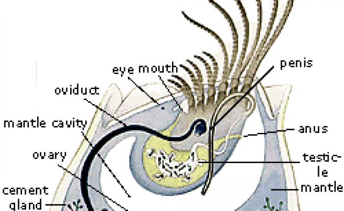 بارناکل …barnacles