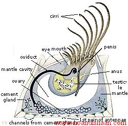 بارناکل