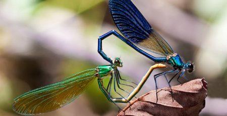 جفت گیری حشرات