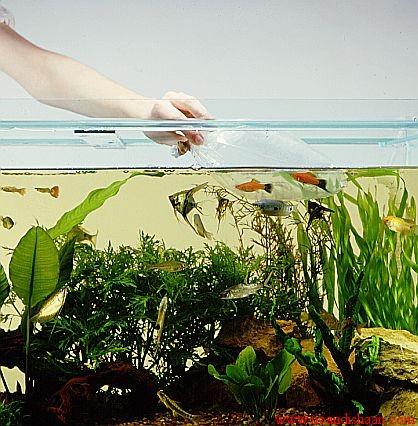 تشخیص جنسیت ماهیان آکواریمی