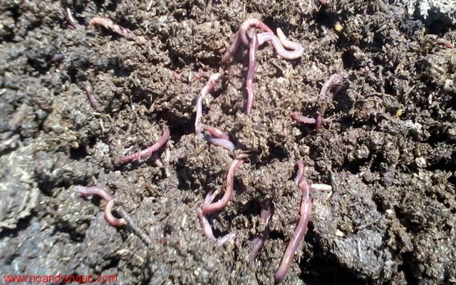 کرم های خاکی جهت حاصلخیزی خاکهای زراعی