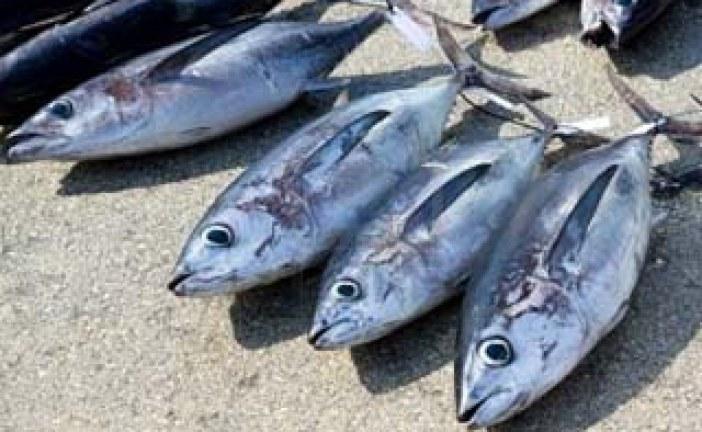 مهاجرت تن ماهیان   مقاله ای پیرامون تن ماهیان scrombidae