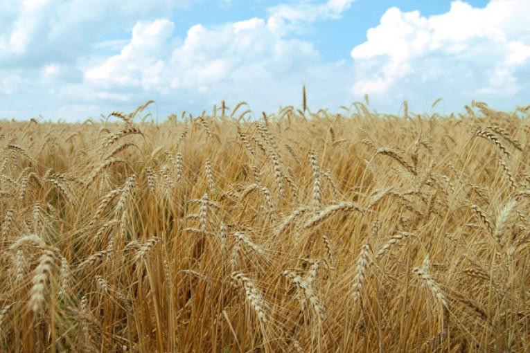 گندم زراعی