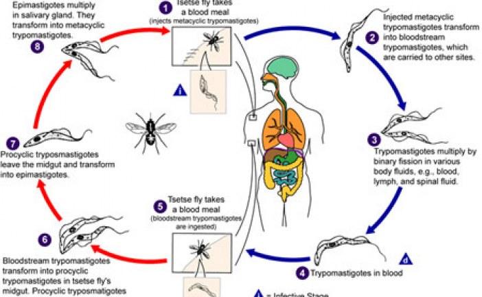 آشنایی با بیماری انگلی لیشمانیوز (سالک) و بررسی ضایعات ناشی از آن