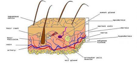جزوه دستگاه پوست
