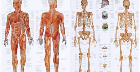 جزوه آناتومی